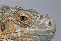 Closeup Green Iguana on Blue Background Royalty Free Stock Images
