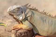 Closeup of green iguana (Iguana iguana) sleeping on the timber Royalty Free Stock Photography