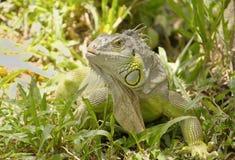 Closeup green iguana Stock Images