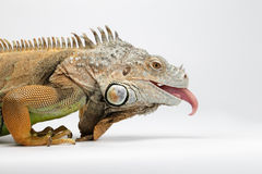 Closeup Green Iguana showing Tongue on White Royalty Free Stock Images