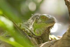 Closeup green iguana Stock Photos