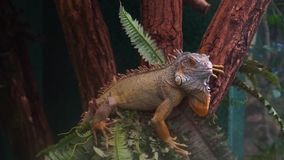 Closeup of a green iguana turning its head and sticking its tongue out, popular tropical pet stock footage