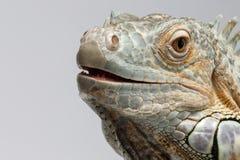 Closeup Green Iguana on White Background Stock Photo