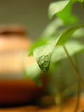 Closeup of a green leaf. Closeup of an ivy leaf, against a clay pot on a blurred background stock images