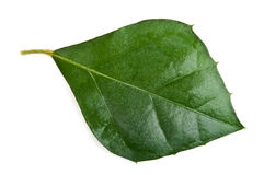 Closeup of green leaf Stock Photography