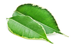 Closeup of green leaf Royalty Free Stock Image