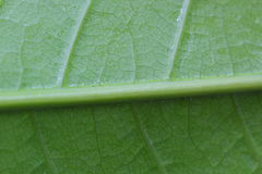 Closeup a green leaf as background Royalty Free Stock Photo