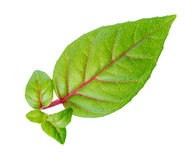 Closeup green leaf with baby plant is isolated on white backgrou Royalty Free Stock Images