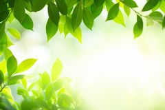Green leaves under sunlight on blurred background royalty free stock image