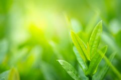 Closeup green leaf on blurred background under sunlight in selective focus royalty free stock images