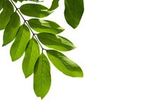 Closeup Green leaf isolated on white background of file with Clipping Path.  Royalty Free Stock Image
