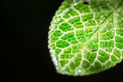Closeup green leaf micro texture isolated on black. Science of nature plant life Stock Photography