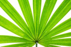 Closeup surface of green leaf of palm tree isolated on white background Stock Images