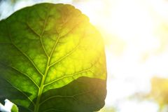 Green leaf with sunlight for bio science of chlorophyll and process of photosynthesis. Closeup green leaf with sunlight for bio science of chlorophyll and stock photography
