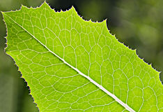 Closeup green leaf texture Stock Photography