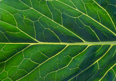 Closeup of a green leaf with veins Stock Photos