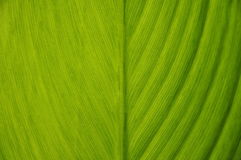 closeup of green leaves of banana Royalty Free Stock Photography