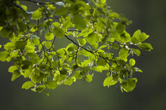 Closeup of green leaves on branches Stock Photography