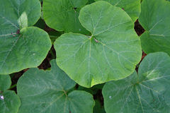Closeup of green leaves. Growing in a garden making a pattern Royalty Free Stock Images
