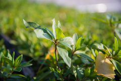 Closeup of green leaves Stock Photography