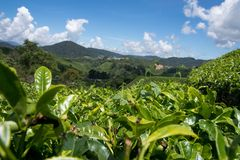 Closeup of leaves at tea plantation in cameron highlands in malaysia stock photos