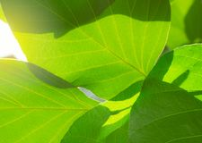 Closeup green leaves texture in the morning with sunlight. Nature background for mild and organic product. Green leaves with fresh. Air and high oxygen royalty free stock photography