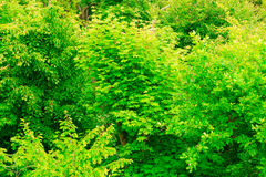 Closeup of green leaves tree outdoor. Nature background. Royalty Free Stock Image