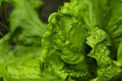 Closeup green lettuce royalty free stock photo
