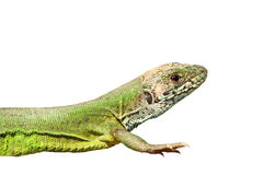 Closeup of green lizard over white royalty free stock image
