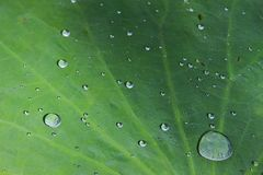 Closeup Green Lotus leaf with water drop as background.  stock photos