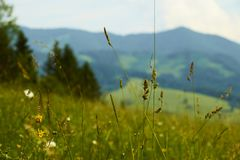 Closeup of green lush grass in front of forested mountains in Sl royalty free stock photo