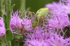 Closeup Green lynx spider Stock Image