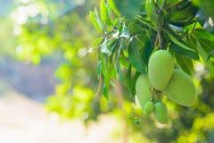 Closeup of green mango hanging,mango field,mango farm. Royalty Free Stock Photo