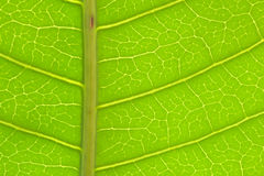 Closeup of green mango leaf detail Stock Photo