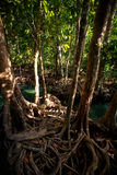 Closeup green mangrove tree interlaced roots under sunlight Stock Photography