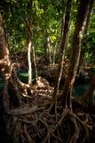 Closeup green mangrove tree interlaced roots under sunlight. Closeup mangrove trees with interlaced whimsically roots under seldom sunlight Stock Photography