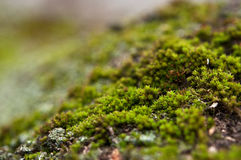 Closeup of green moss Royalty Free Stock Image