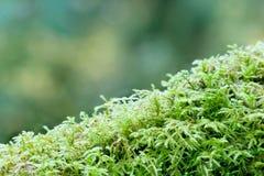 Closeup of green moss Stock Photography
