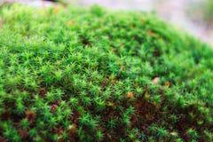 Closeup of green moss Stock Image