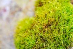 Closeup green moss Stock Images