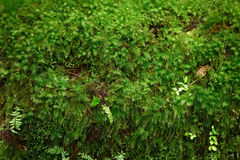 Closeup green moss Royalty Free Stock Images