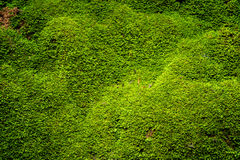 Closeup green moss in nature. Closeup grooved green moss in nature Royalty Free Stock Image