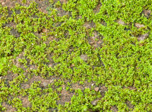 Closeup on Green Moss. Royalty Free Stock Photography
