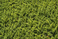 Closeup of green natural hedge in garden Stock Photos