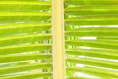 Closeup of green palm tree leaf Stock Photography