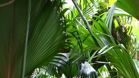 Closeup of green palm trees. In the jungle of Seychelles stock video