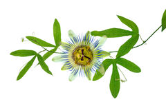 Closeup of green passionflower branch with tendrils and flower h Stock Image
