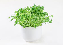 Closeup green pea sprout  in white cup Stock Photography