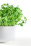 Closeup green pea sprout  in white cup Stock Photos