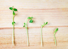 Closeup green pea sprout  on wooden background Stock Image